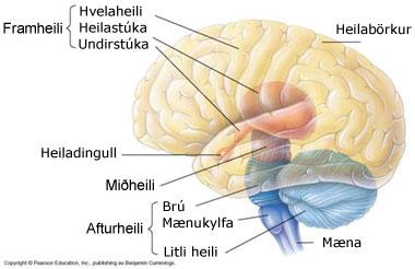 http://www.visindavefur.is/myndir/heili_240306.jpg